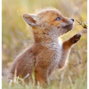 baby fox 300 x 300