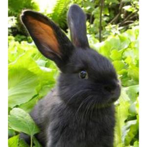 black-bunny 300 x 300